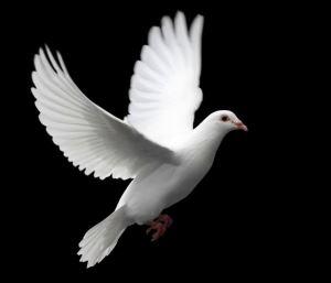 holubice - mír